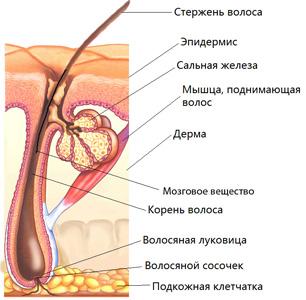 Строение волоса, струкутра волоса, состав волоса, волос в разрезе, анатомия волоса, анатомия кожи головы